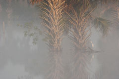 Dense foggy morning in wetlands of central Florida with palm tre Stock Images