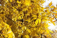 Ash tree. Dense foliage of the ash tree during the autumn shift, the beginning of autumn and the leaves still did not fall to the ground stock photography
