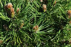 Dense foliage of coniferous tree Dwarf Mouintain Pine, latin name Pinus Mugo, cultivar Turra Mops. In afternoon sunshine royalty free stock images