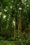 Dense Forest. Dense protected forest in Bali, Indonesia Stock Photo