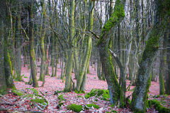 Dense forest. Dense bech and oak forest mit much moss, misty day, spring, near Pruem, Rheinland-Pfalz, Germany Stock Photos