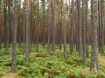 Dense forest. A dense forest of pines. On the ground bilberries. Protected Landscape Area Trebonsko, Czech republic. Part of the UNESCO heritage Royalty Free Stock Images