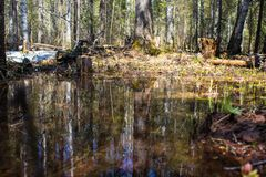 Dense forest area during the spring flood is reflected in the water. Untouched dense forest area during the spring flood is reflected in the water royalty free stock image