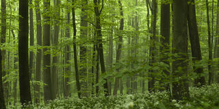 Dense Forest Beech Tree Grove Royalty Free Stock Photo