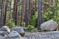 Dense forest and big stones. Detail of a dense forest and big stones under the trees Stock Photos