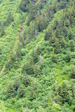 Dense forest of conifers Stock Photography
