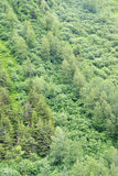 Dense forest of conifers and hardwoods Stock Photo