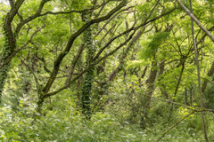 Dense forest detail. Entangled dense forest detail at spring time Royalty Free Stock Photo