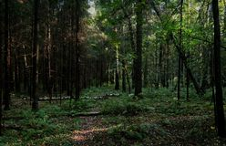 Dense forest with fallen trees, shrubs and thicket, photo with a dark, mysterious atmosphere. Dense forest with fallen trees, shrubs and thicket, a photo with a royalty free stock photography