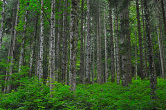 Dense forest with green bushes. Picture of dense forest with a lot of small trees and green bushes Stock Image