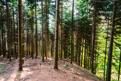 Dense forest on hillside Royalty Free Stock Photo