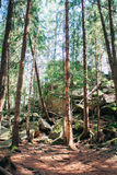 Dense forest in the mountains Stock Image