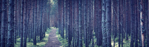 Dense forest at night. Pine tree forest at night with path going throuhg Royalty Free Stock Photos