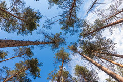 Dense forest of pine trees Royalty Free Stock Image