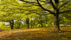 Dense forest in the Spring. The branches of a large foreground tree frame trees in the distance. Late afternoon sunlight illuminates light green Spring leaves in Royalty Free Stock Photo