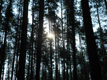 Dense forest. Tall trees in a dense forest stretching to the sky, you can see the sun through the branches Stock Image
