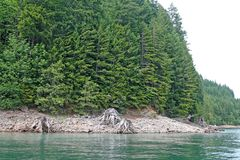 Detroit Lake shoreline. Dense forest and tree remnants along the shoreline of the Detroit Lake located in Linn and Marion counties in Oregon; taken from the royalty free stock photo