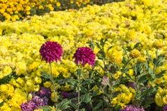 Dense Garden. Garden full of dense colorful chrysantemums Stock Images