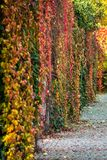 Dense grapevines covering the wall. Grapevines in beautiful, multicolored autumn colors, densely growing on the wall in the South Park. Wroclaw, Poland Royalty Free Stock Image