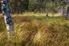 Dense Grass Covering Taiga Forest in Autumn Royalty Free Stock Image