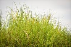 Dense grasses Stock Images