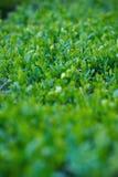 Dense green bush Royalty Free Stock Image