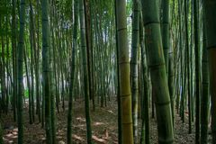 Thick Green Bamboo Forest. A dense green forest made of thick, tall bamboo trees Stock Photos