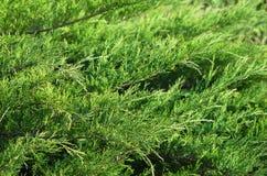 Dense green leafage of savin juniper shrub stock images