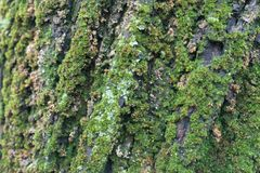 Dense moss covering tree bark in humid weather. Dense green moss covering tree bark in humid weather Royalty Free Stock Image