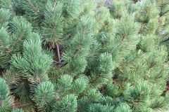Dense green pine background texture Royalty Free Stock Image