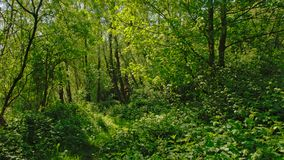 Dense green vegetation in a forest in the flemish countryside. Vinderhoute, Belgium stock image