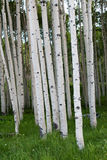 Dense group of Quaking Aspen Trees Stock Image