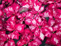 Dense groups of red poinsettias. Field of red and white poinsettias on a Christmas display stock image