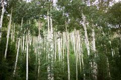 Dense grove of tall straight aspen trees stock image