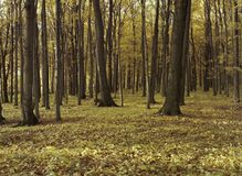 A dense harwood forest in the fall stock images