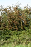 Dense hedgerow layers Stock Photography