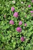 Dense inflorescences of Trifolium pratense Royalty Free Stock Images