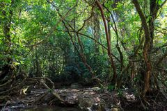 Dense jungle. With twisted and entangled vines int he Khao Sok national park, Thailand Stock Photo