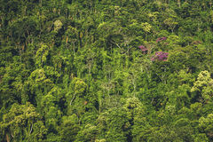 Dense jungle. A dense wall of trees on the side of a mountain Stock Photography