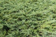 Dense leafage of savin juniper shrub. Dense green leafage of savin juniper shrub Stock Photography
