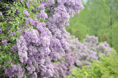 Dense lilac bush in Kyiv botanic garden. With blur view of city Stock Image