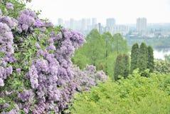 Dense lilac bush in Kyiv botanic garden. With blur view of city Royalty Free Stock Photos