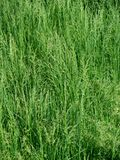 Dense, lush green grass. Gone to seed in the springtime Royalty Free Stock Images