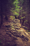 Dense mountain forest and  path between the roots of trees. Royalty Free Stock Photography
