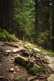Dense mountain forest and  path between the roots of trees. Stock Photography
