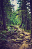 Dense mountain forest and  path between the roots of trees. Landscape dense mountain forest and stone path between the roots of trees Stock Photography
