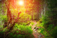 Dense mountain forest and trees. Dense mountain forest and trees with moss in magic light Royalty Free Stock Photos