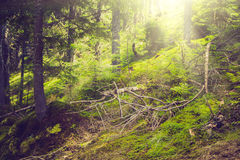 Dense mountain forest and trees with moss in magic light. Royalty Free Stock Photography