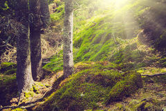 Dense mountain forest and trees with moss in magic light. Stock Photo