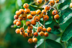 Dense orange berry clusters and pinnate leaves of the mountain ash, or rowan, tree, Sorbus aucuparia. Close up view, narrow depth of field Stock Photos